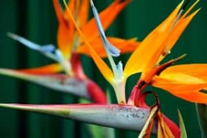Southwest Florida Images - Bird of Paradise