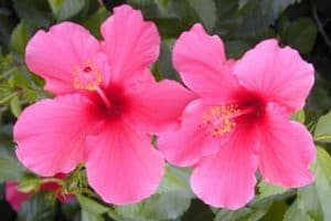 Southwest Florida Images - Hibiscus