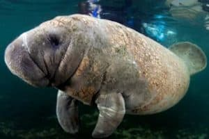 Southwest Florida Images - Manatee