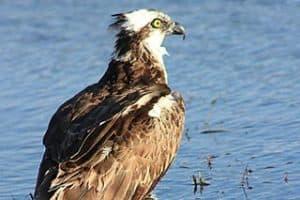 Southwest Florida Images - Osprey