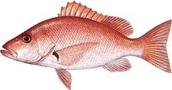 Southwest Florida Saltwater Fish - Blackfin Snapper
