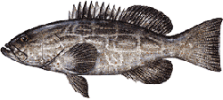 Southwest Florida Saltwater Fish - Black Grouper