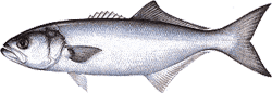 Southwest Florida Saltwater Fish - BlueFish