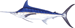 Southwest Florida Saltwater Fish - Blue Marlin
