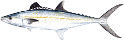 Southwest Florida Saltwater Fish - Cero Mackerel