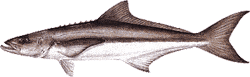 Southwest Florida Saltwater Fish - Cobia