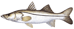 Southwest Florida Saltwater Fish - Common Snook