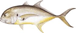 Southwest Florida Saltwater Fish - Crevalle Jack