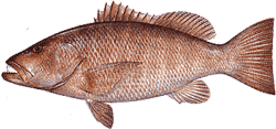 Southwest Florida Saltwater Fish - Cubera Snapper