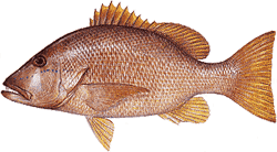 Southwest Florida Saltwater Fish - Dog Snapper