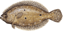 Southwest Florida Saltwater Fish - Flounder