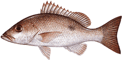 Southwest Florida Saltwater Fish - Mohogany Snapper