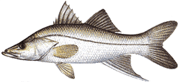 Swordspine Snook