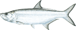 Southwest Florida Saltwater Fish - Tarpon