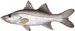 Southwest Florida Saltwater Fish - Tarpon Snook