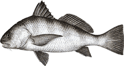 Southwest Florida Saltwater Fish - Black Drum