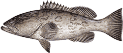 Southwest Florida Saltwater Fish - Gag Grouper