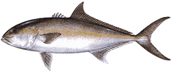 Southwest Florida Saltwater Fish - Greater Amberjack