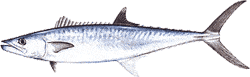 Southwest Florida Saltwater Fish - King Mackerel