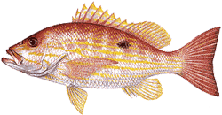 Southwest Florida Saltwater Fish - Lane Snapper