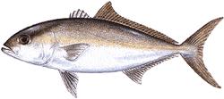 Southwest Florida Saltwater Fish - Lesser Amberjack