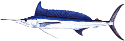 Southwest Florida Saltwater Fish - Longbill Spearfish