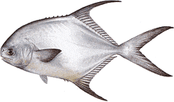 Southwest Florida Saltwater Fish - Permit