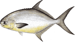 Southwest Florida Saltwater Fish - Pompano