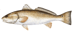 Southwest Florida Saltwater Fish - Red Drum
