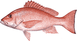 Southwest Florida Saltwater Fish - Red Snapper