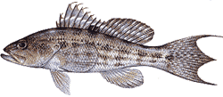 Southwest Florida Saltwater Fish - Rock Sea Bass