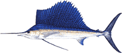 Southwest Florida Saltwater Fish - Sailfish