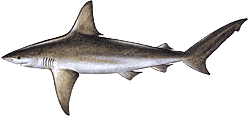 Southwest Florida Saltwater Fish - Sandbar Shark