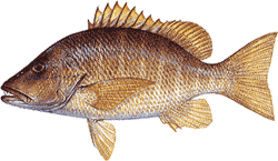 Southwest Florida Saltwater Fish - Schoolmaster