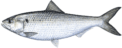 Southwest Florida Saltwater Fish - American Shad