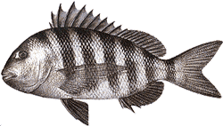Southwest Florida Saltwater Fish - Sheepshead