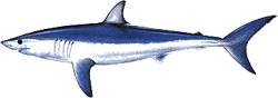 Southwest Florida Saltwater Fish - Shortfin Mako Shark