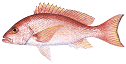 Southwest Florida Saltwater Fish - Silk Snapper