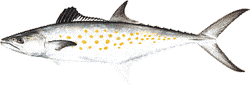 Southwest Florida Saltwater Fish - Spanish Mackerel