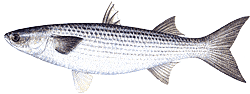 Striped (Black) Mullet