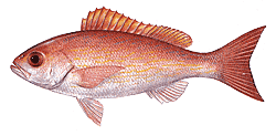 Southwest Florida Saltwater Fish - Vermilion Snapper