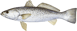 Southwest Florida Saltwater Fish - Weakfish