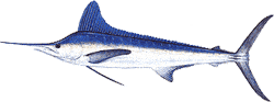 Southwest Florida Saltwater Fish - White Marlin