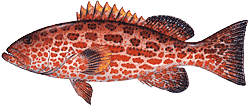 Yellow Fin Grouper