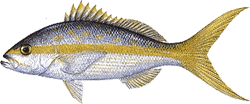 Southwest Florida Saltwater Fish - Yellow Tail Snapper