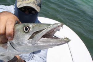 Southwest Florida Fish - Barracuda
